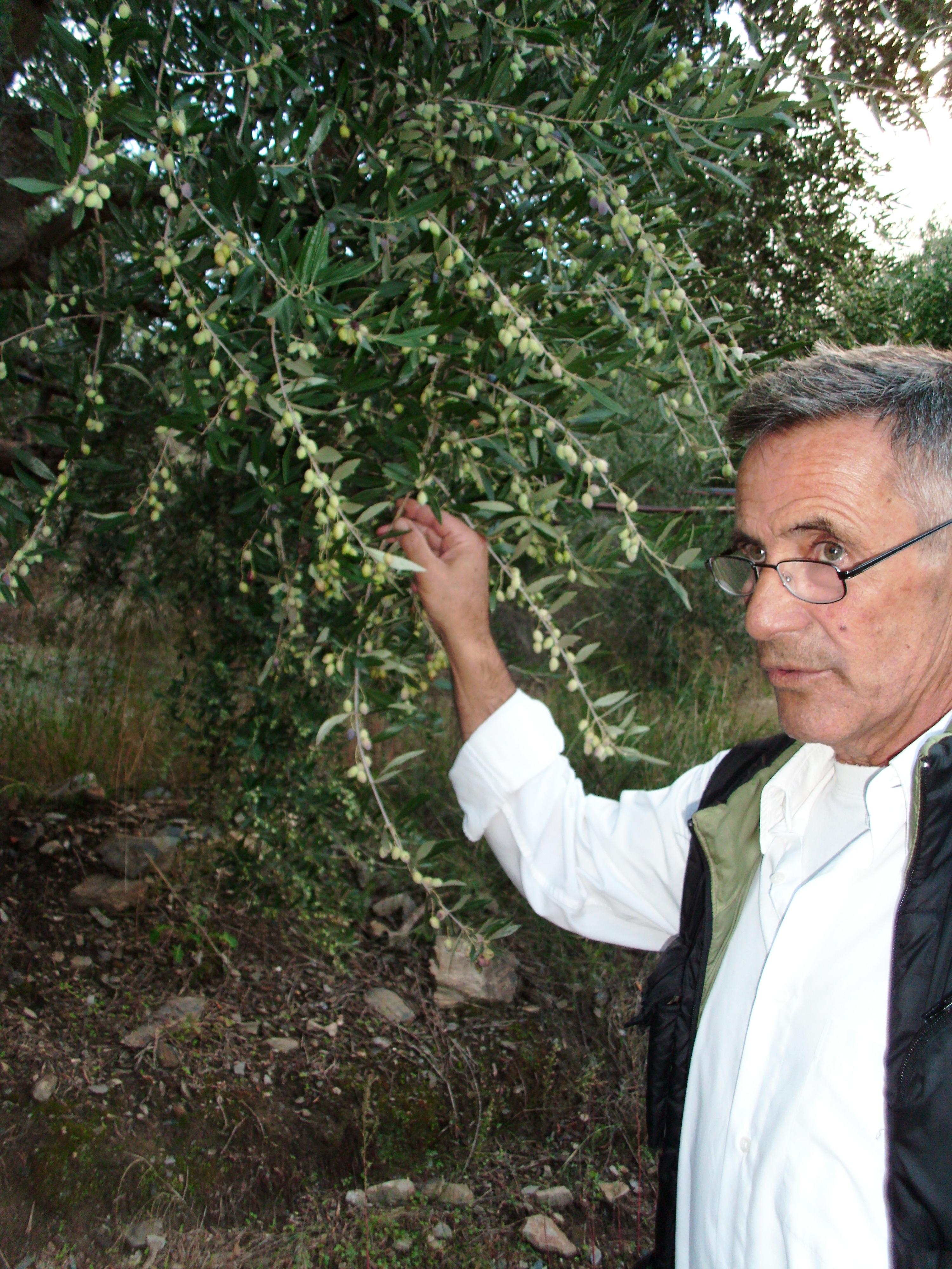 Manolis beim Prüfen der Oliven