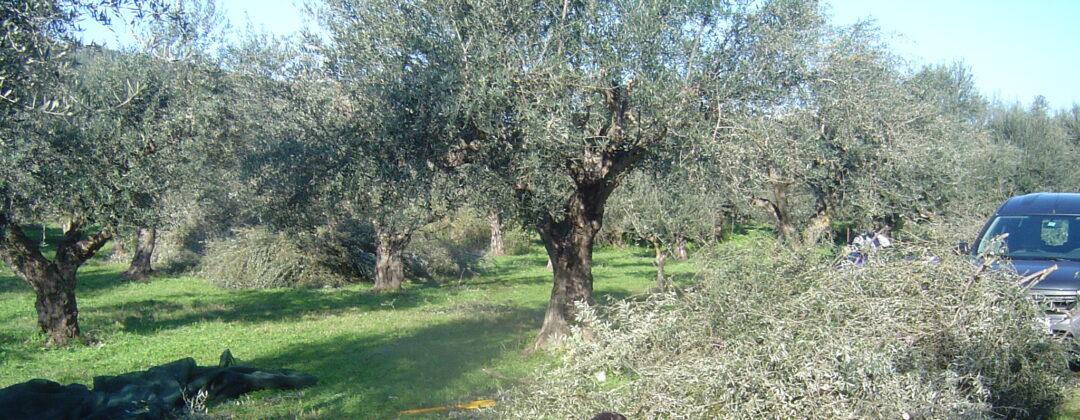 die olivenernte extra natives oliven l aus der mani. Black Bedroom Furniture Sets. Home Design Ideas